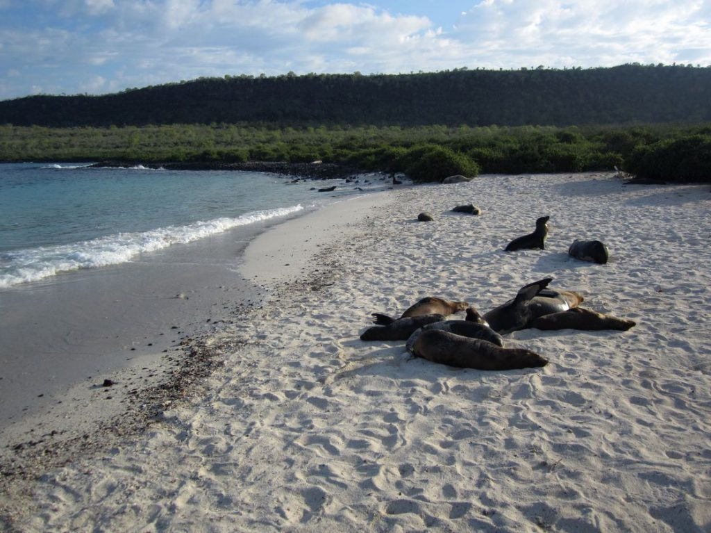 Galapagos Seelöwen